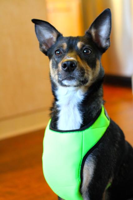 KumfyTailz4 Enter the free giveaway for a Kumfy Koatz heating/cooling dog harness