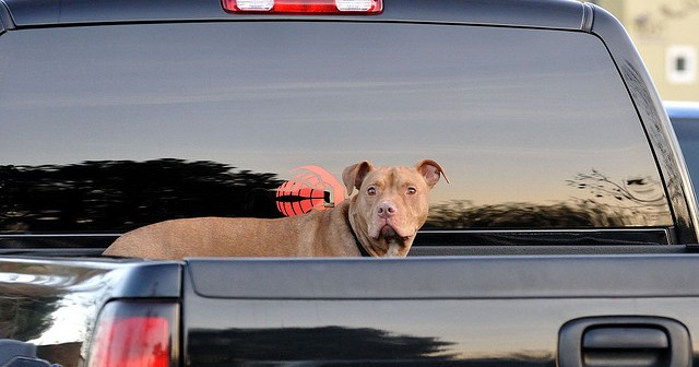 Dog in pickup: unrestrained. Photo courtesy of  http://www.flickr.com/photos/ddebold/3181259772/, Creative Commons.