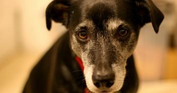 Mikey, a lab beagle mix, has soulful eyes