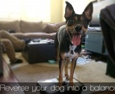 Combining several learned behaviors into new dog tricks: Training Tips Tuesday
