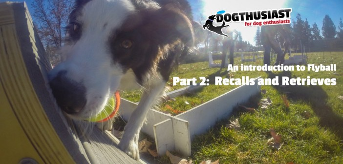 An Introdution to Flyball: Recalls and Ball retrieve. Training Tips Tuesday