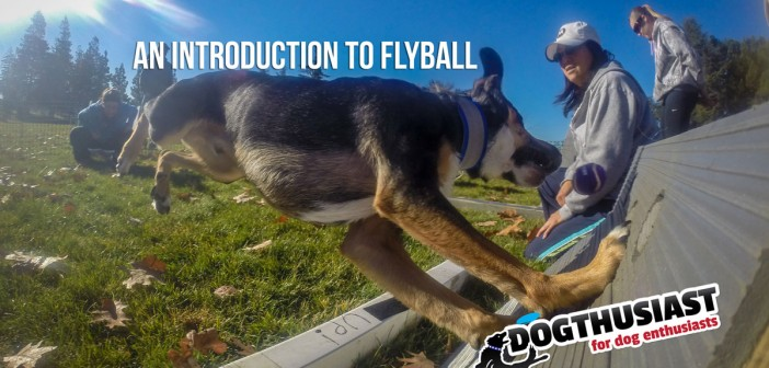 Learn Flyball - from DOGthusiast.com