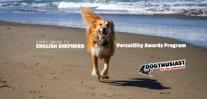 Learning about the English Shepherd Versatility Awards Program