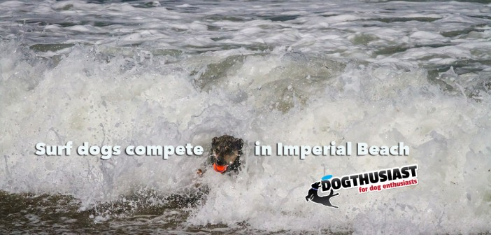 Surf Dogs meet in Imperial Beach California for competition