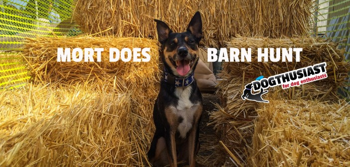 Mort goes on a Barn Hunt because he is an Adventure Dog #AdventureDogChat