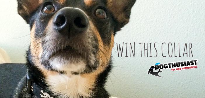 Win a dog collar on Instagram!  Happy Halloween!