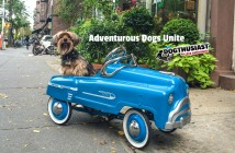 yorkie-car-featured