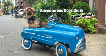 yorkie-car-featured-351x185 A dog blog for active dogs