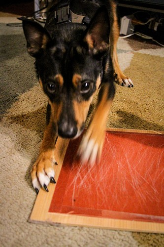 11813447444_169d47f70e Training Tips Tuesday: Dog scared of nail trims? Train your dog to file his own!