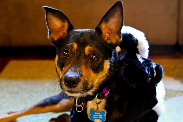 8129890586_b9b32bfd44_z Microchips and collars: both are needed to keep your pet safe