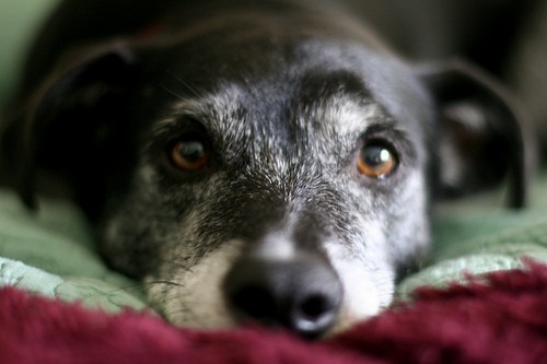 4340135100_b8cd4b84e3 10 reasons to adopt a senior dog